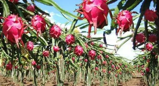 最有潜力果苗新品种种植什么果树前景好.jpg